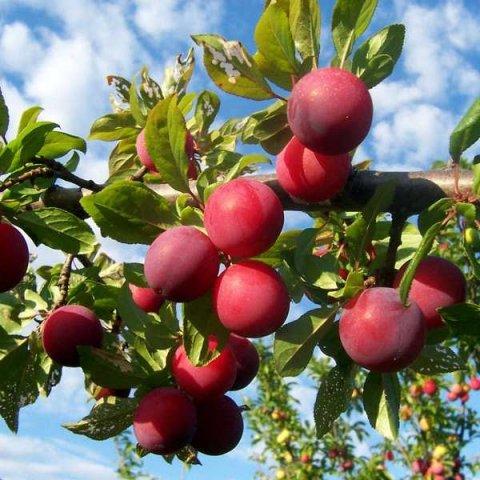 Как получить хороший урожай алычи сорта Путешественница
