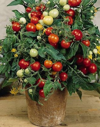 Как самостоятельно вырастить помидоры Пиноккио в цветочном горшке