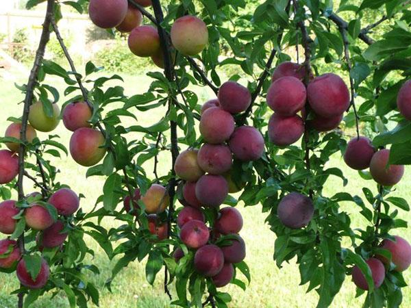 Как вырастить алычу Путешественница на садовом участке