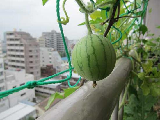 Как вырастить арбуз дома на балконе - лучшие способы