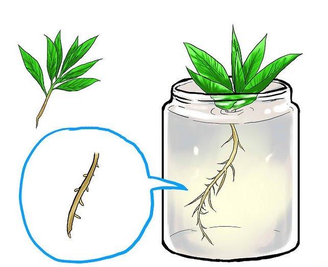 Как вырастить мяту - появление корешков у черенка