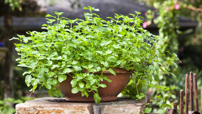 Как вырастить мяту - разновидности растения