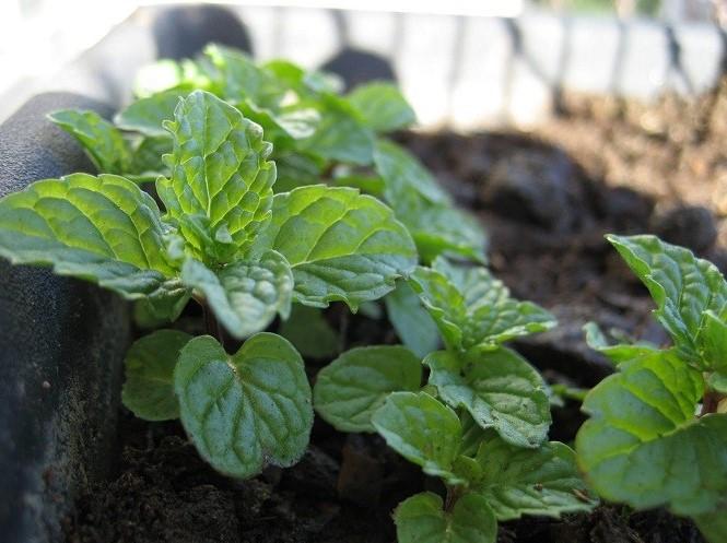 Как вырастить мяту - семенной способ посадки растения