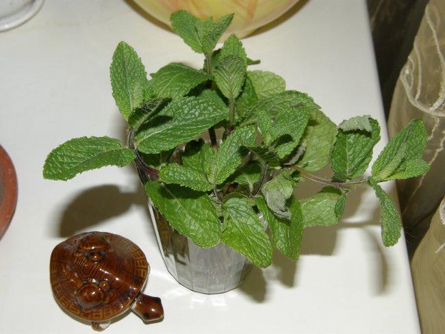 Как вырастить мяту - вегетативное размножение