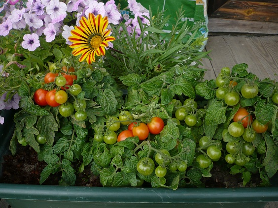 Как вырастить помидоры Пиноккио на балконе
