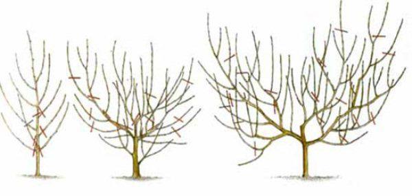 Обрезка алычи - формирование кроны алычи в виде чаши