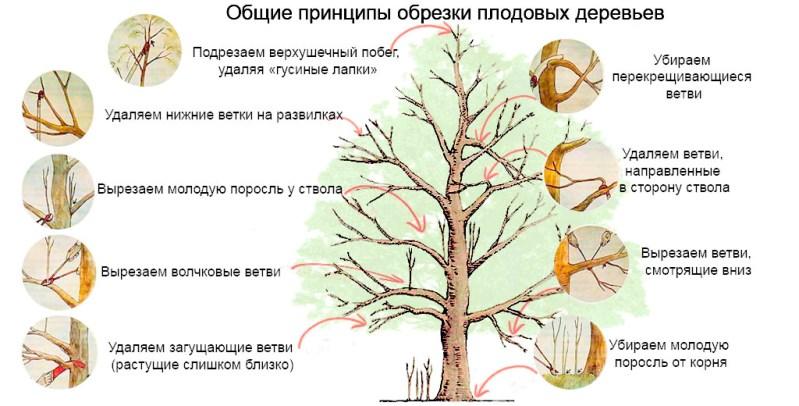 Обрезка алычи - общие правила процедуры для плодовых деревьев
