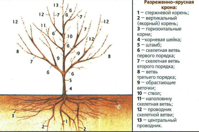 Обрезка алычи - схема разреженно-ярусной кроны дерева