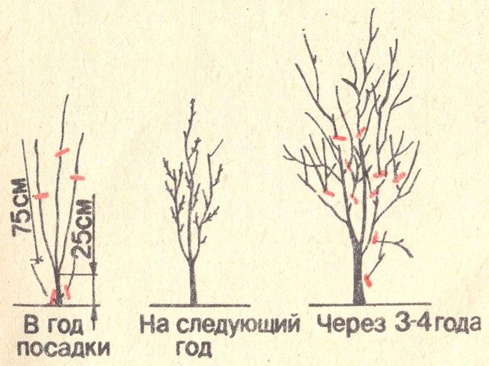 Обрезка алычи - универсальная схема формирования кроны