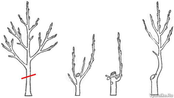 Омолаживающая обрезка дерева алычи