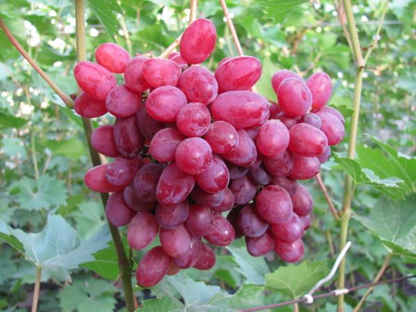 Описание сорта винограда Кишмиш розовый