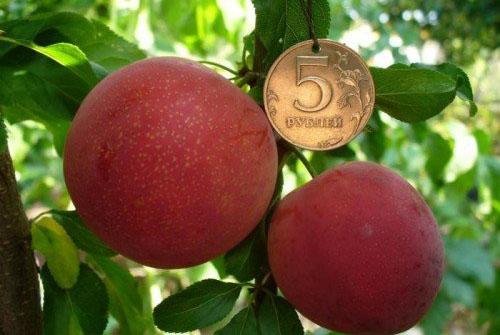 Размер плодов алычи Путешественницы