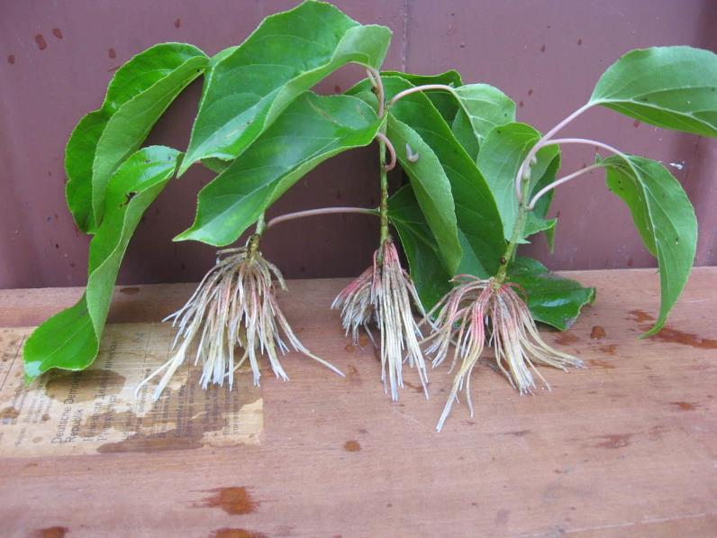 Размножение актинидии - черенки растения после укоренения