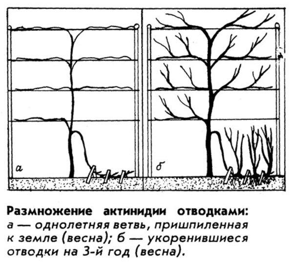 Размножение актинидии отводками - схема по годам