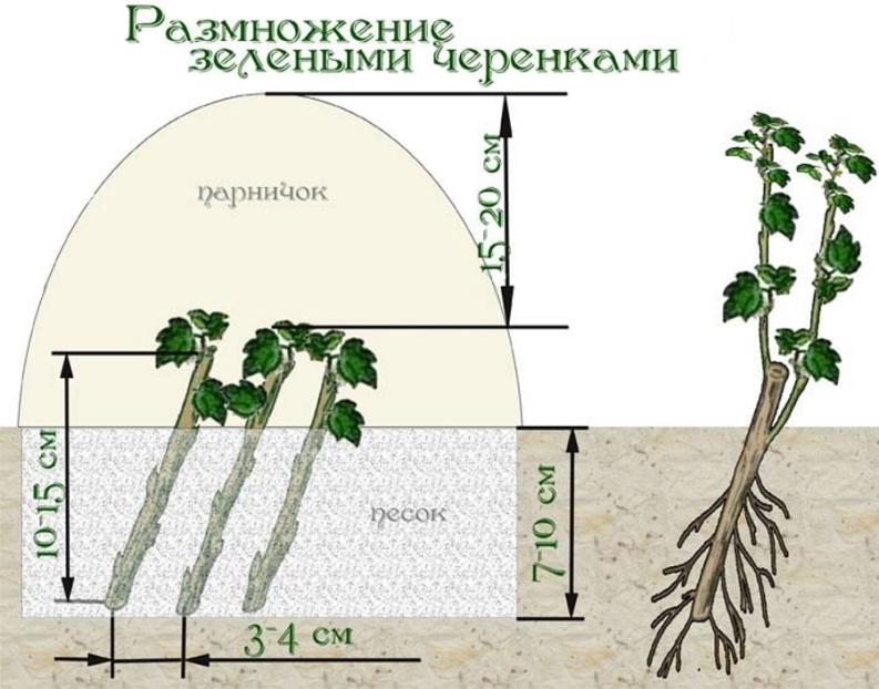 Размножение актинидии зелеными черенками