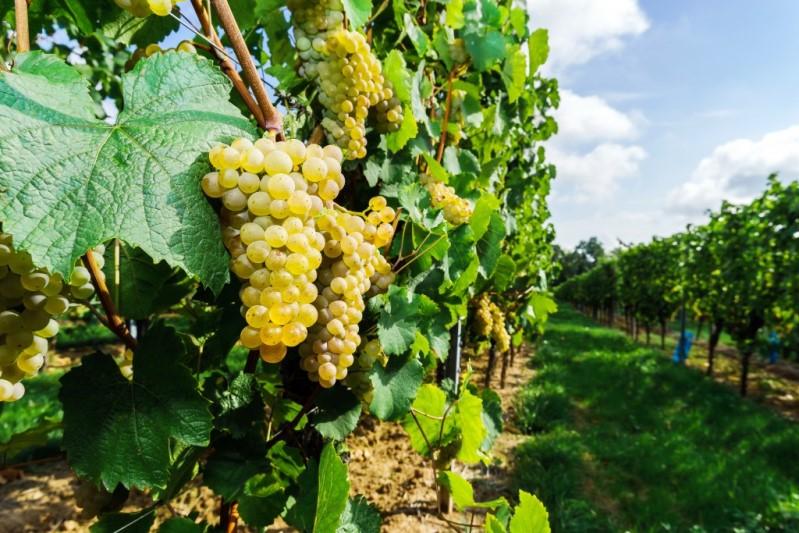 Урожайный сорт винограда мускат янтарный