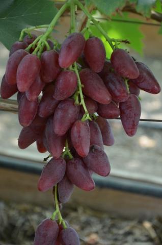 Виноград Дубовский розовый показатели урожайности
