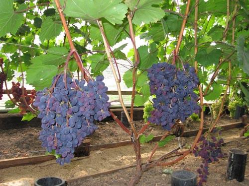 Виноград Кишмиш Запорожский как вырастить на даче
