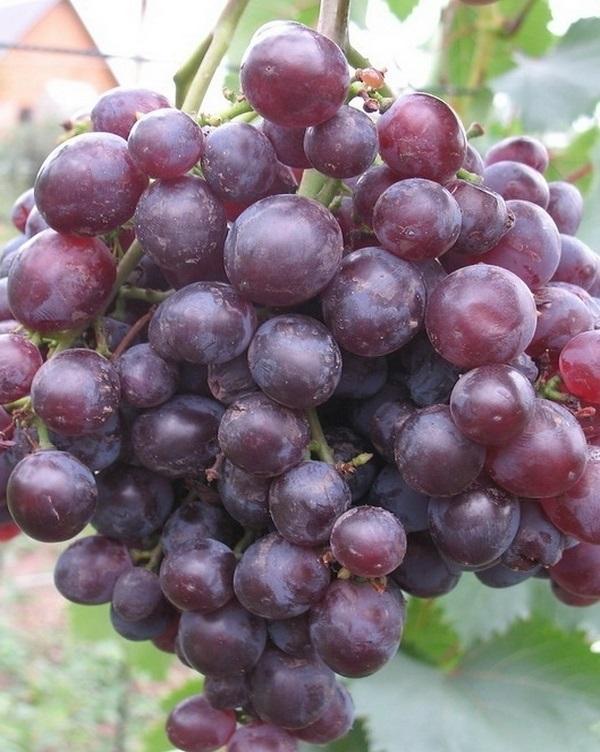 Виноград Кишмиш Запорожский какие климатические условия выращивания