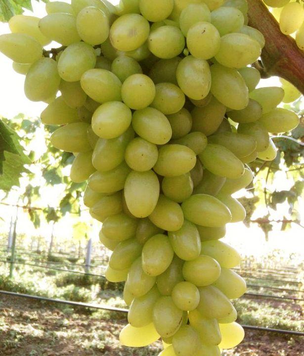 Виноград Кишмиш особенности культивации в условиях средней полосы