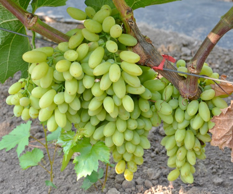 Виноград Кишмиш посадка, уход, сбор урожая