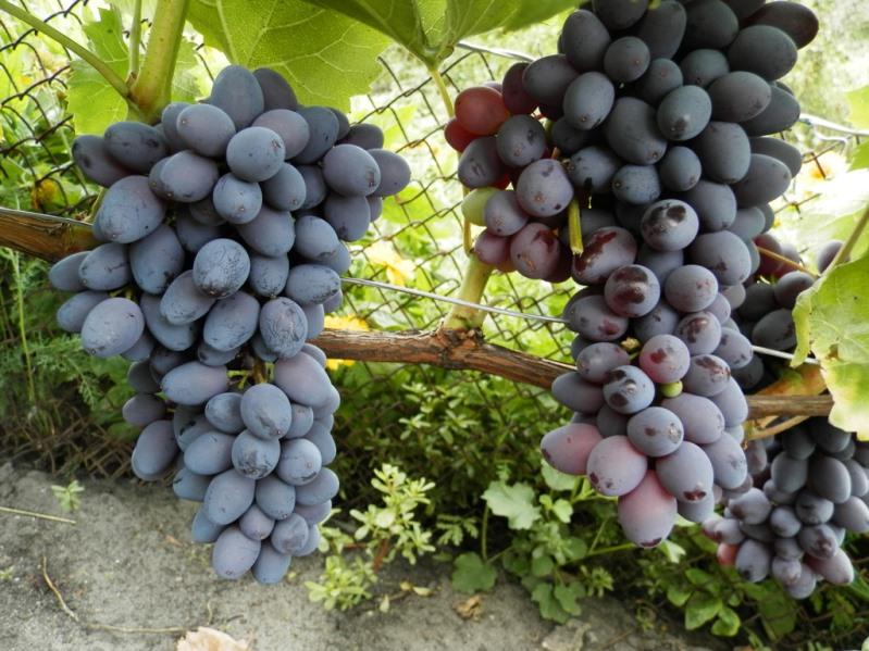 Виноград Кишмиш размножение бессемянных сортов