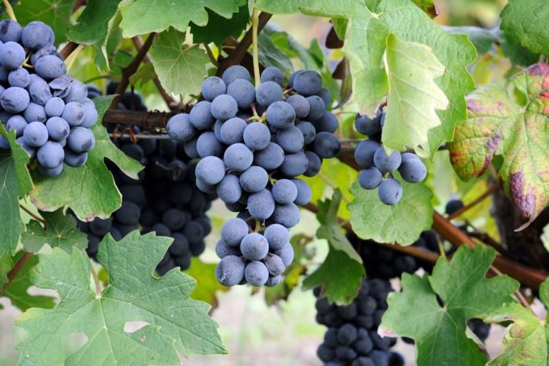 Виноград Мускат Новошахтинский для изготовления ароматных напитков