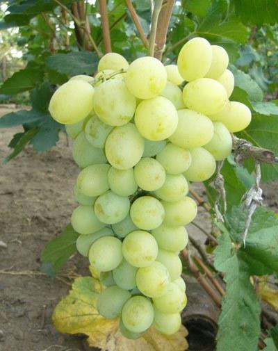Виноград Мускат белый сверхранний сорт