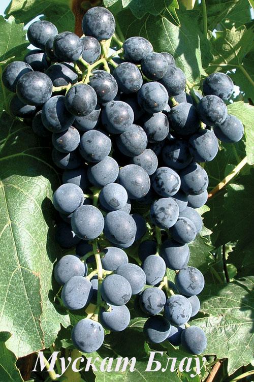 Виноград Мускат черный описание плодов