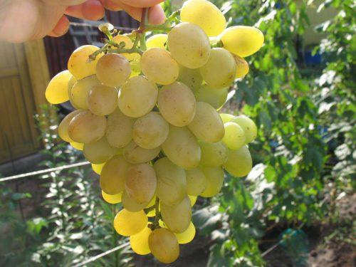 Виноград Восторг описание и характеристика сорта