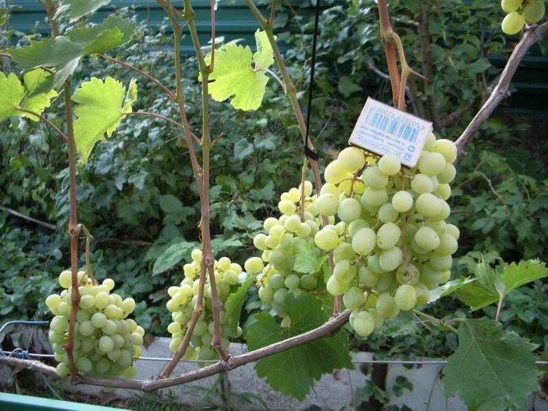 Виноград Восторг посадка и уход за лозой