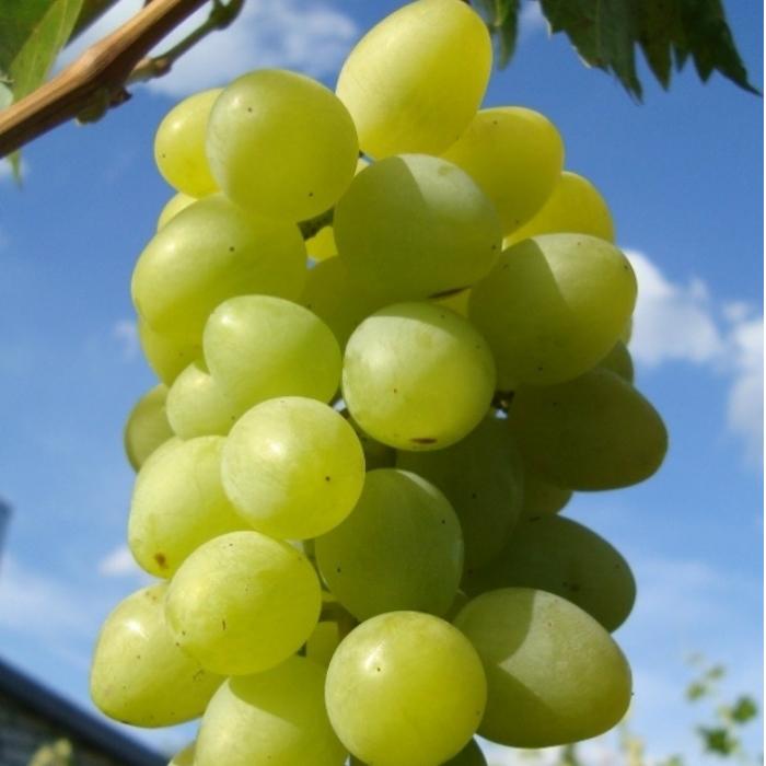 Виноград монарх как вырастить уникальный сорт