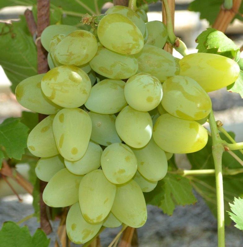 Виноград монарх с крупноплодными, сочными ягодами
