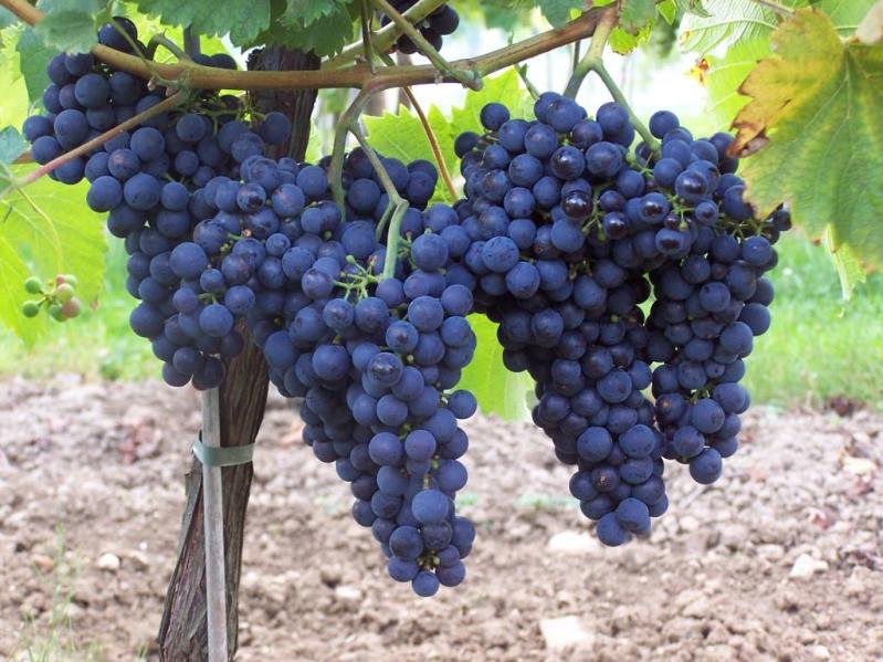 Виноград монарх темный винный сорт