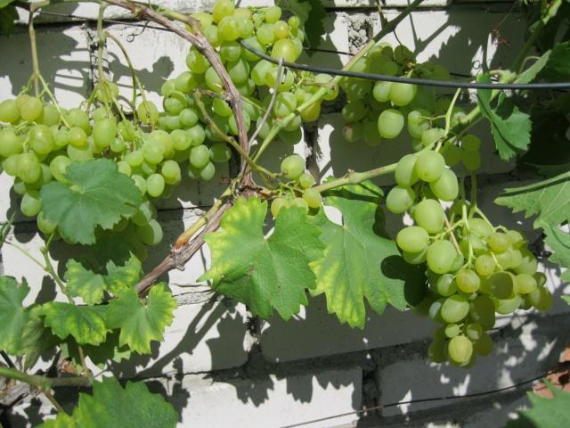 Виноград монарх требования к климатическим условиям и региону произрастания