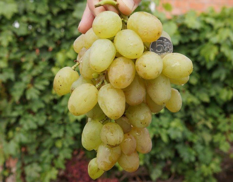 Виноград монарх уход за культурой (полив, опрыскивание, удобрение, подкормка, обрезка)
