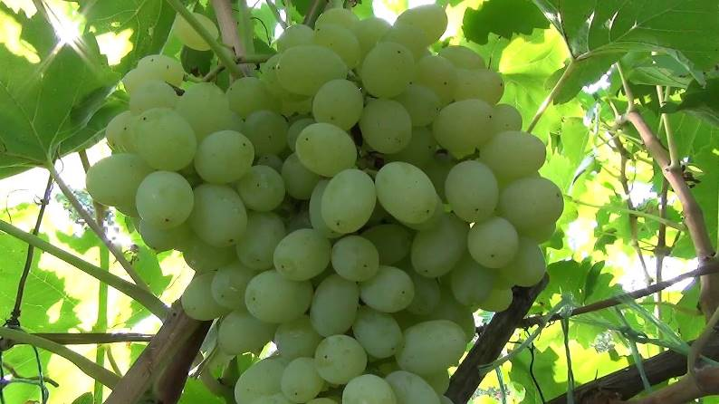 Виноград сорта Кишмиш Белый