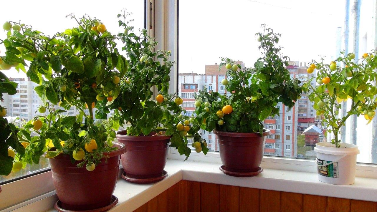 Выращивание мелкоплодных помидор Пиноккио на подоконнике