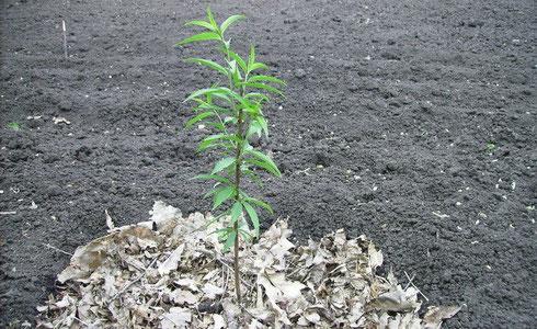 Как вырастить дерево алычи из косточки