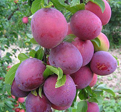 Алыча слива особенности вкусовых характеристик плодов