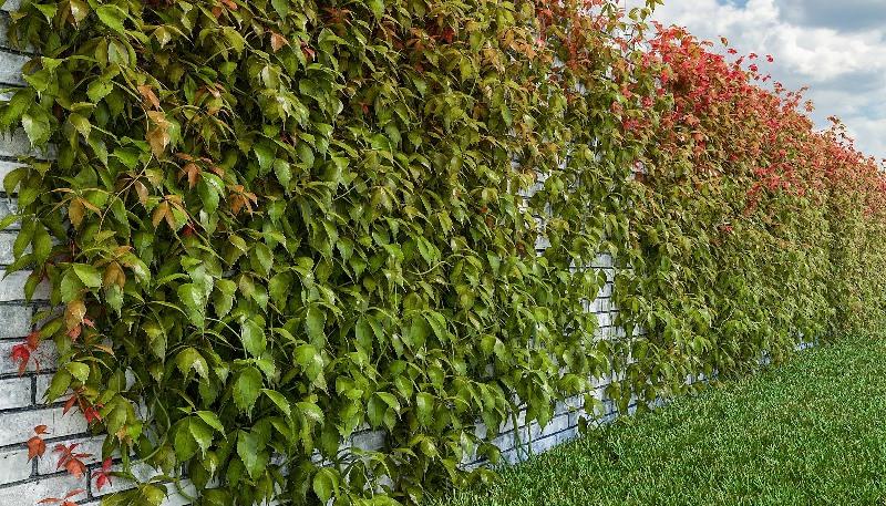 Дикий виноград для декорирования кирпичного забора на даче