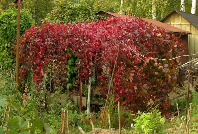 Дикий виноград - как посадить лиану на дачном участке