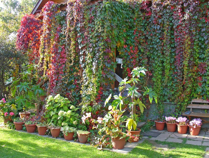 Дикий виноград - особенности размножения растения