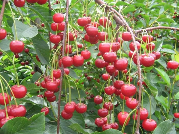 Самоплодная вишня сорта Молодежная преимущества культивации