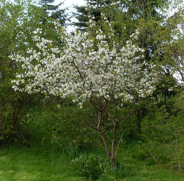 Стоит ли выбрать вишню молодежную для посадки в саду