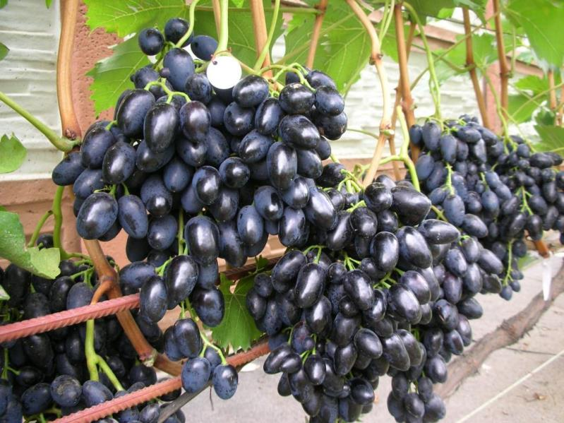 Виноград Надежда Азос чем привлекательна культура