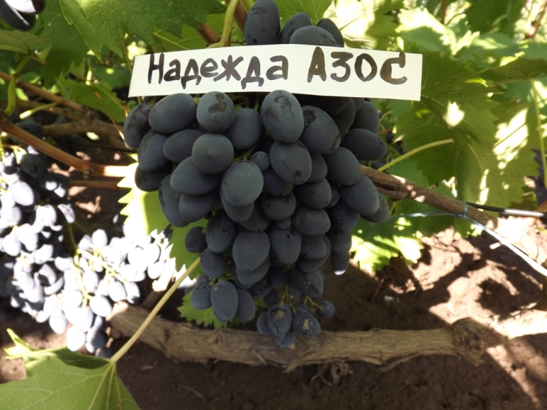 Виноград Надежда Азос обрезка виноградных кустов