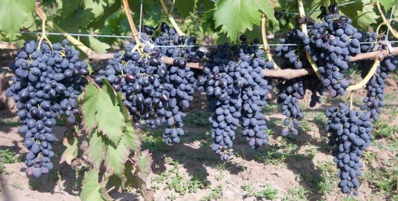 Виноград Надежда Азос описание сортовых признаков