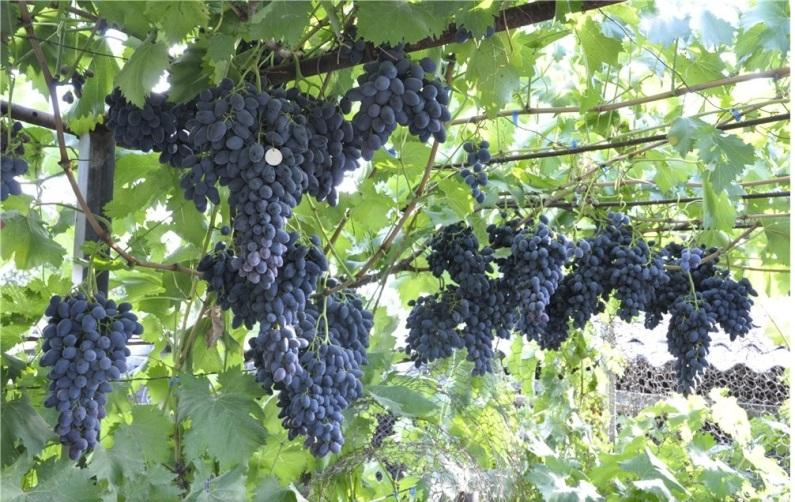 Виноград Надежда Азос подвязка виноградных лиан