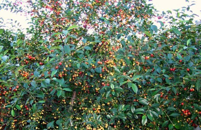Вишня Молодежная как защитить дерево от болезней и вредителей